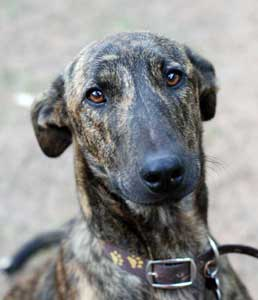 The magnificent 'Davey', fostered for MAR